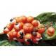 Guarana - Poudre Herboristerie du Valmont