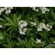 Aspérule odorante - Plante coupée Bio Herboristerie du Valmont