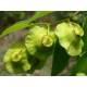 Paliure - Fruit entier
