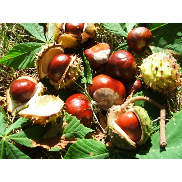 Marron d'Inde en Poudre - Aesculus hippocastanum - 100%..