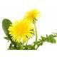 Dandelion - Cut root Bio Herbalism of Valmont