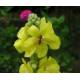 Bouillon blanc - Fleur