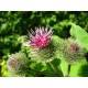 Bardane - Racine poudre Herboristerie du Valmont