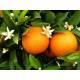 Oranger douce - Zeste Bio Herboristerie du Valmont