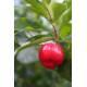 Acerola - Poudre Herboristerie du Valmont