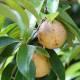 Muscade - Noix entière Bio Herboristerie du Valmont