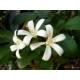 Jasmin - Fleur entière