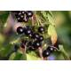 Cassis - Ribes nigrum - Fruit entier Bio