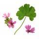 Mauve - Fleur  Herboristerie du Valmont