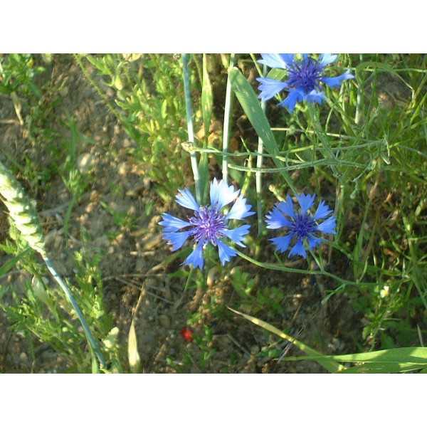 Tisane De Bleuet Bio Centaurea Cyanus Fleurs Entieres En Vrac