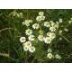 Camomille matricaire - Fleur Bio Herboristerie du Valmont