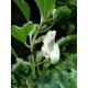 Harpagophytum - Racine coupée Bio Herboristerie du Valmont