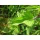 Ortie piquante - Racine coupée Bio Herboristerie du Valmont