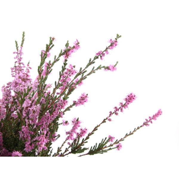 Tisane de Bruyère Bio - Calluna vulgaris - Sommité fleurie coupée en Vrac