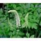 Cimicifuga - Poudre Herboristerie du Valmont