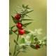 Fragon (Petit Houx) - Racine coupée Herboristerie du Valmont
